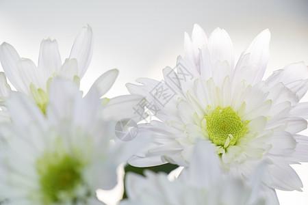 小清新公主菊小白菊图片