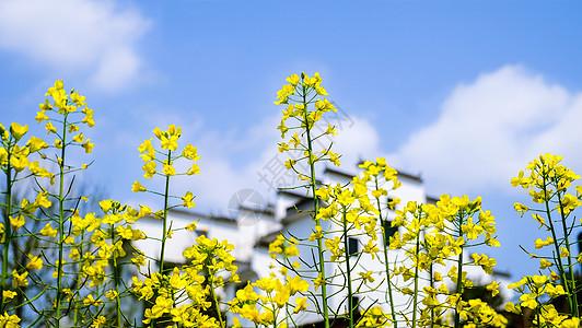 春季油菜花图片