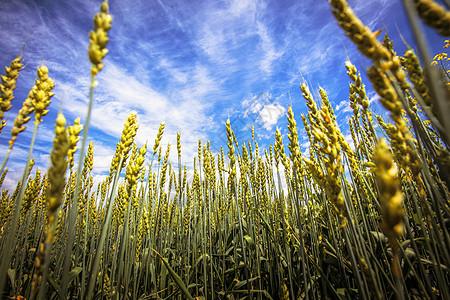 丰收的麦子图片