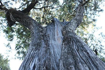 参天的古柏树图片