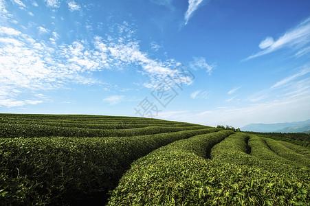 蓝天白云下的茶园图片