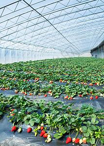 大棚草莓种植基地图片