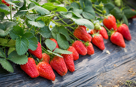 等待采摘的草莓图片
