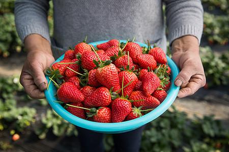 农夫端着一盆红色草莓图片