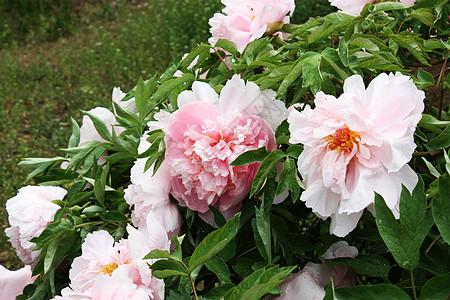 牡丹花 粉色图片