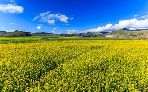 西藏高原油菜花图片