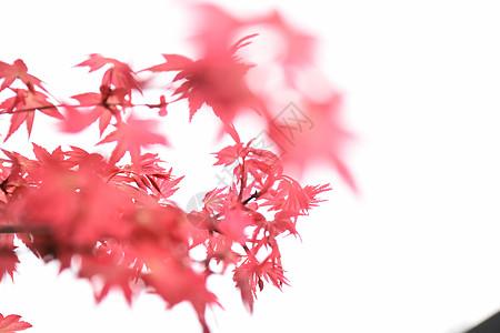 秋天红枫图片