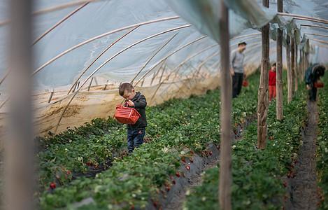 可爱儿童在田间采草莓图片