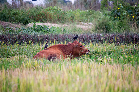 田地里的牛和鸟图片