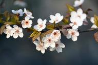 春天白色樱花图片