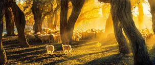 胡杨林里的羊群图片