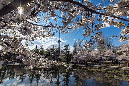 樱花节.风景如画图片