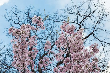 樱花节.玉渊潭图片