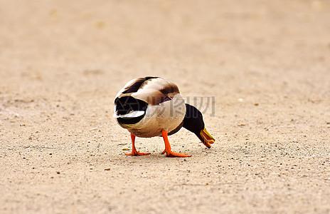 里行走的绿头鸭图片