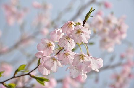 春寒里的樱花图片