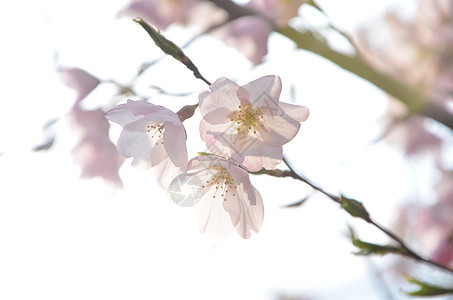 寒冷中的樱花图片