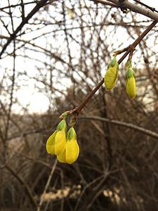 黄色小铃铛连翘图片