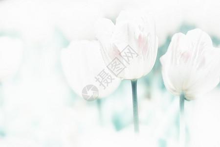 美丽的郁金香图片