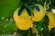 福建蜜柚图片