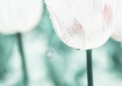 郁金香花海图片