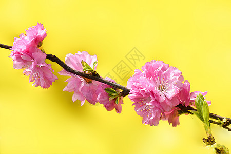 黄色背景榆树梅图片