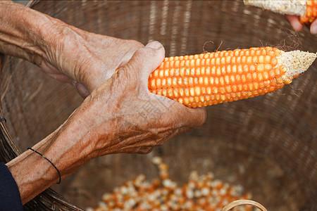 云南世外桃源剥玉米的老人图片