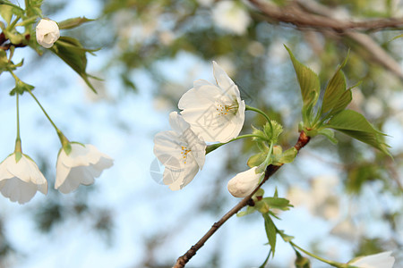 公园梨花图片