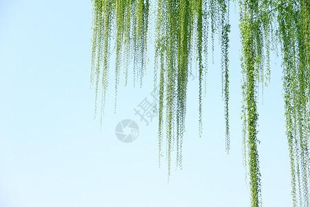 春天里的柳树图片