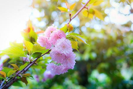 春天樱花生机勃勃图片