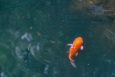 水池游动鲤鱼图片