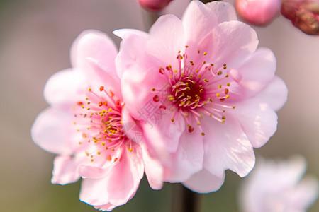 春季玉渊潭公园樱花节图片