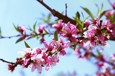 桃花吊顶图片_桃花吊顶素材_桃花吊顶高清图片_摄图网