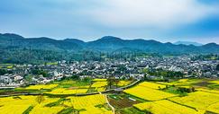 村落开满了油菜花图片