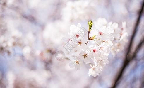 樱花时节图片