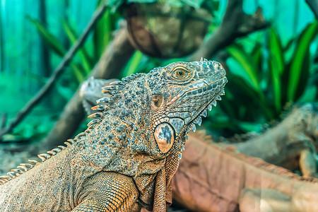 专注盯着前方的绿鬃蜥图片