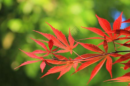 初春红色枫叶图片