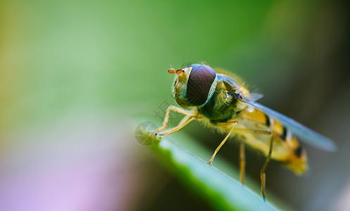 微距镜头下的小蜜蜂图片
