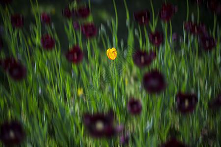 美丽如花-郁金香图片
