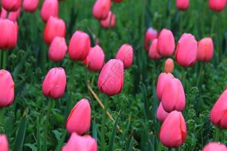 郁金香鲜花朵朵盛开图片