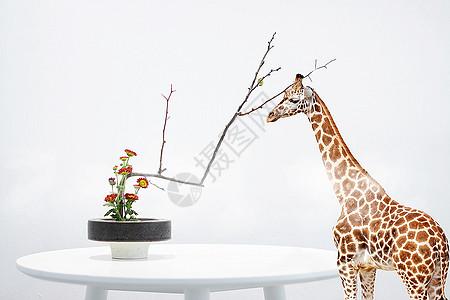 赏花中的优雅长颈鹿小姐图片
