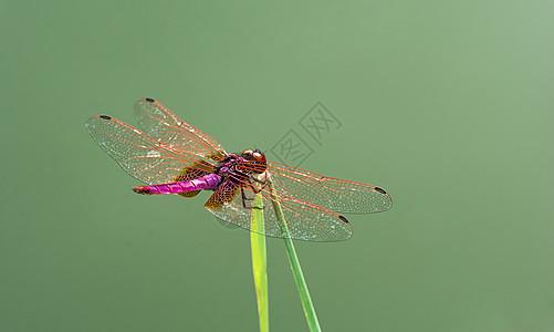 池塘边的红蜻蜓图片