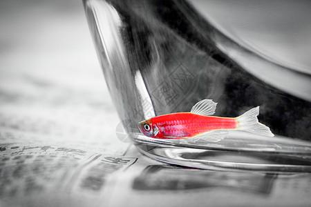 鱼缸里的斑马鱼图片