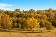 秋天的白桦林图片