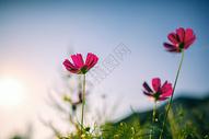 唯美干净的野花素材图片