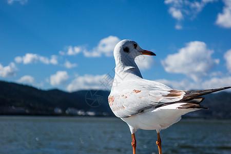 红嘴海鸥图片