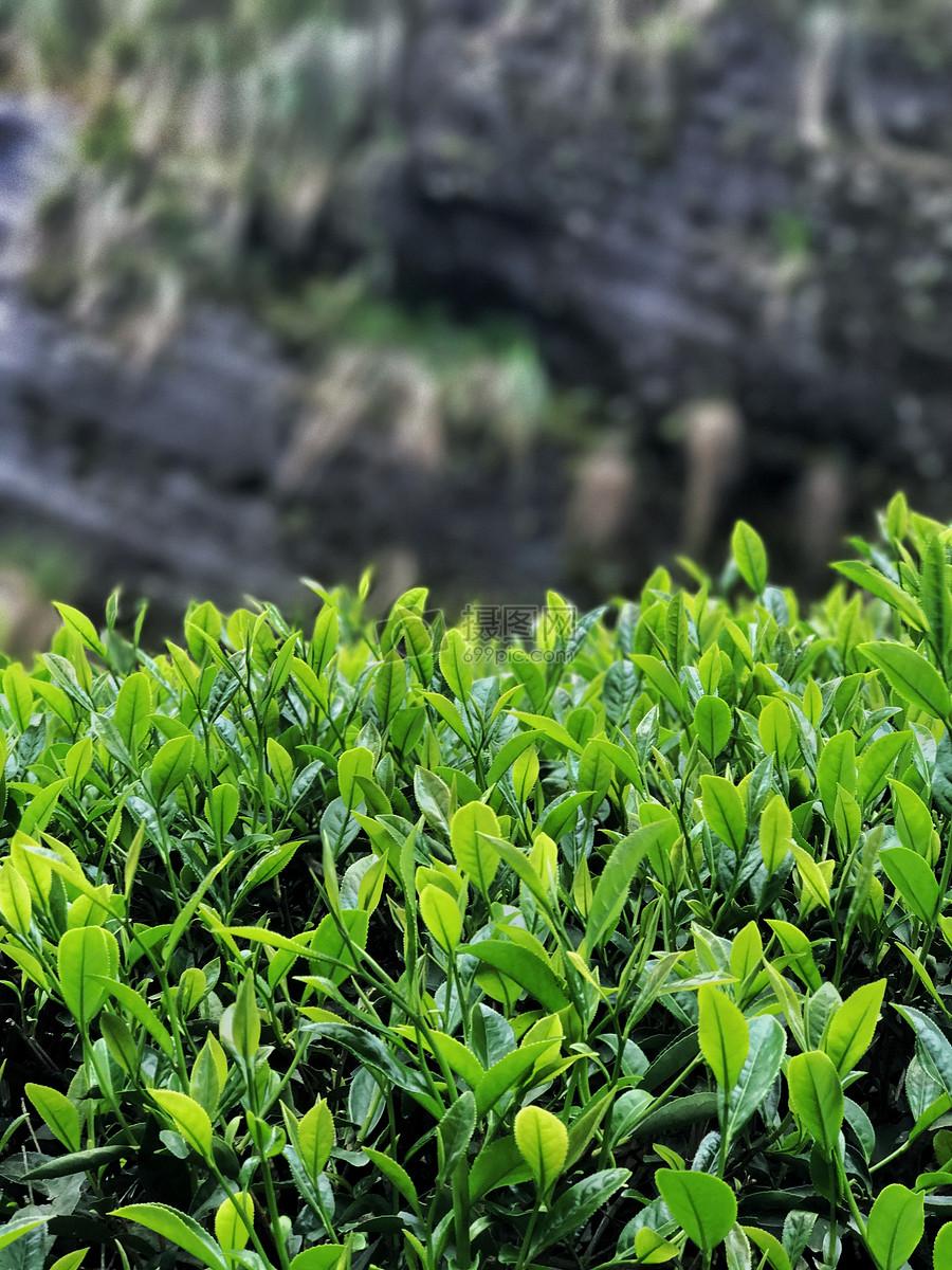 年白牡丹白茶