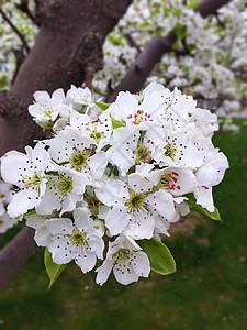 梨花盛开图片