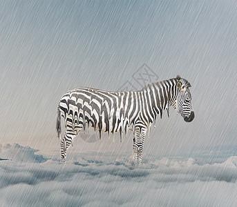 被雨淋掉斑马线的斑马图片