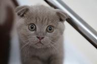 可爱的折耳猫图片