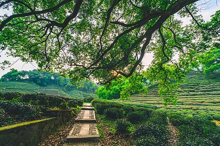 梅家坞茶园图片